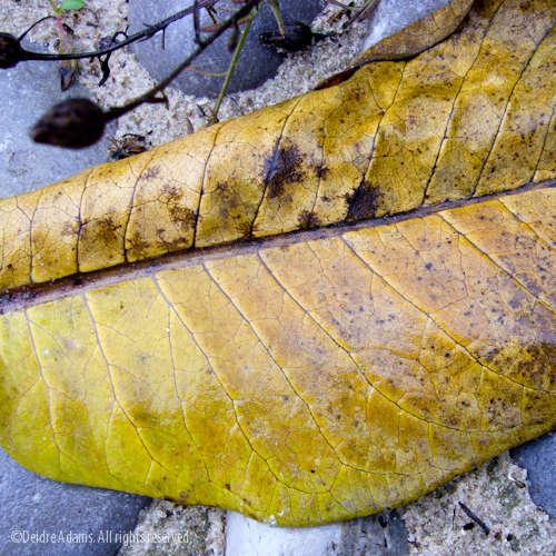 adams-leaf